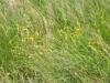 hahnenfusspflanzen