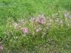 rosa-wildblumen-am-wegesrand
